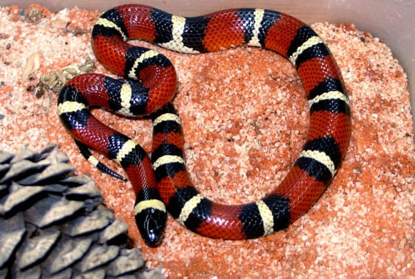 Mexican Milk Snake