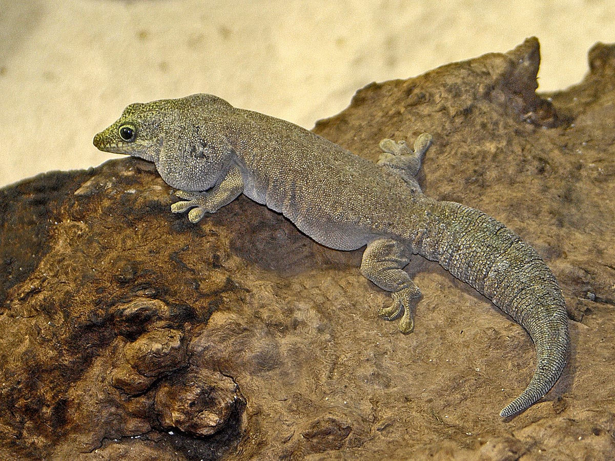 Standing's Day Gecko