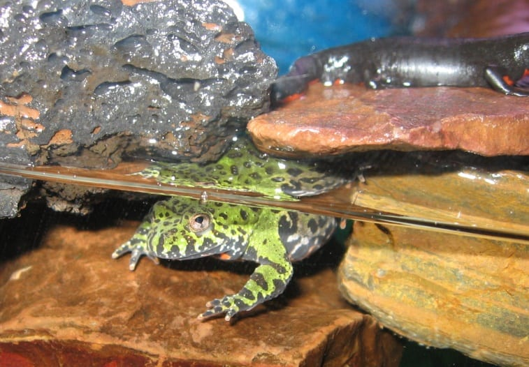 Description: Image result for oriental fire-bellied toad tank