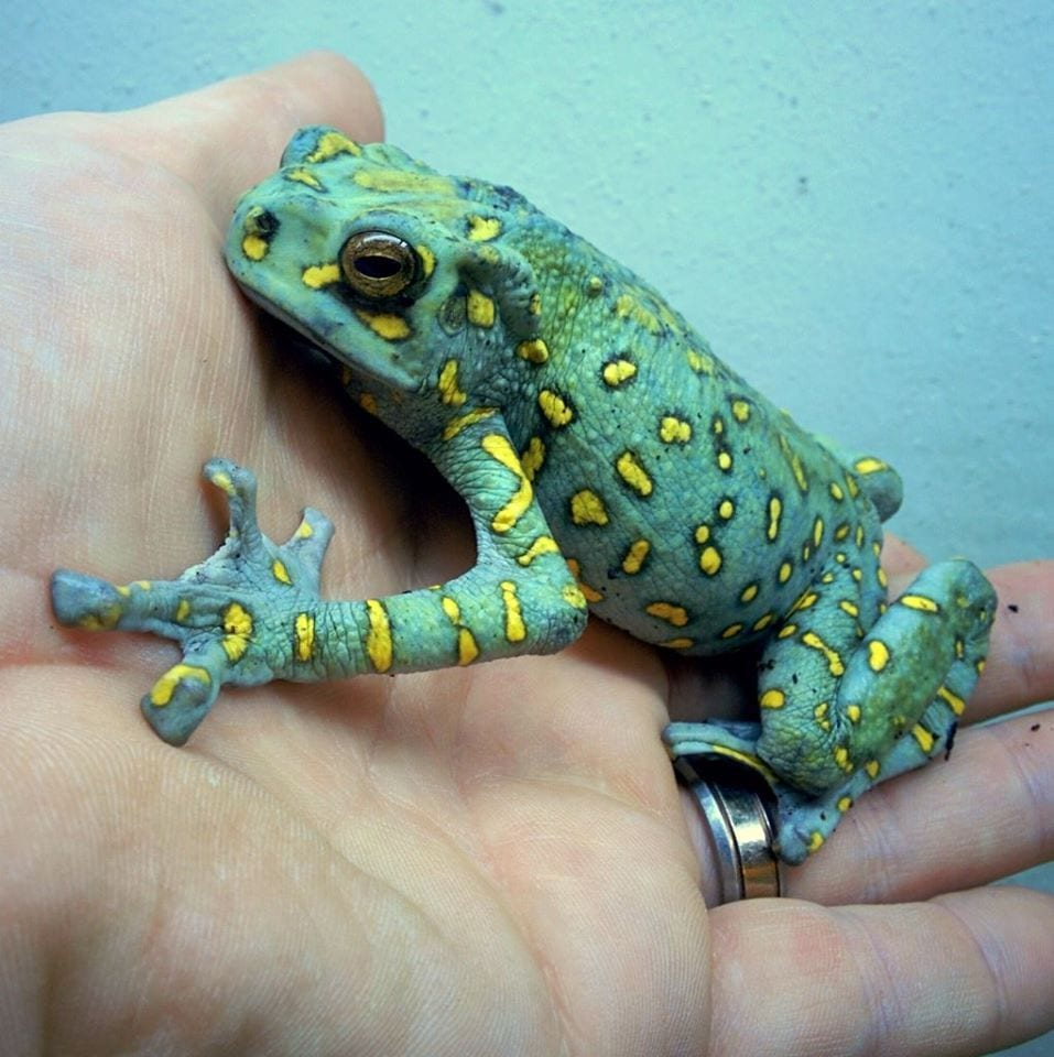 Yellow Spotted Climbing Toad