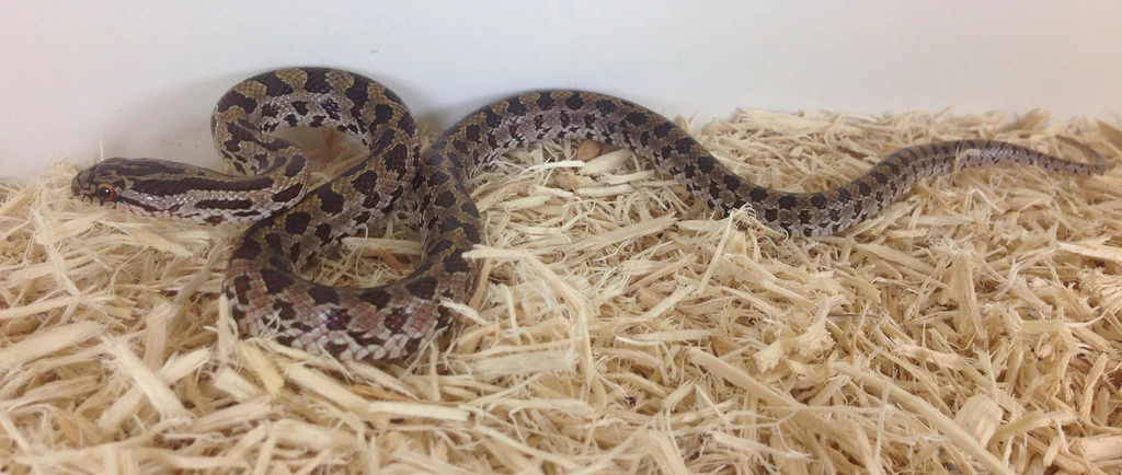 /></figure>    <p>In choosing for a rat snake to be taken into captivity, you must check if it is healthy. You can easily determine a healthy snake through its skin and eyes. Make sure that there is no excess skin from the shedding process and make sure that its eyes are clear. When you notice that the eyes are cloudy, that could be a potential sign that the snake is suffering from some illnesses.<br></p>    <p>It is important to choose a snake from a reputable breeder because it means that the snake is somehow trained to be in captivity and that it has a clear background, you would know that what you are purchasing is a pure rat snake.<br></p>    <h2>Availability-Where to Get One</h2>    <p>Prairie Kingsnakes are readily available at pet shops, online reptile stores, reptile exhibits, and expos, as well as direct breeders. It is important to adopt pets that are captive-bred snakes to ensure their health and so that it is a parasite-free snake. You will also get detailed information about the age, history, and genetics of the snake if acquired in a pet shop or online reptile store.</p>    <h2>How To Care Reptile as a Pet?</h2>    <figure class=